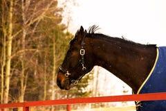 一匹良种马的头 免版税库存图片
