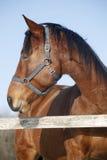 一匹良种马的特写在冬天pinfold的 库存照片