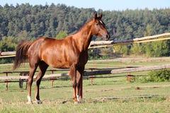 一匹良种马的画象反对草原背景的 库存照片
