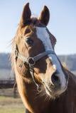一匹良种驯马的垂直的顶头射击 免版税库存图片