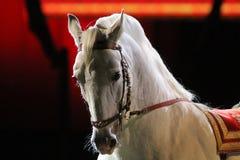 一匹良种lipizzaner马的侧视图画象 免版税库存图片