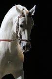 一匹良种lipizzaner马的侧视图画象 免版税库存照片