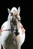 一匹良种lipizzaner马的画象 库存照片