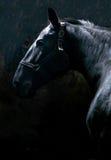 一匹良种nonius公马的顶头射击 免版税库存照片