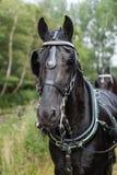 一匹荷兰语皇家黑色马的纵向 免版税库存照片