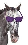 一匹被察觉的马的头与太阳镜的 库存照片