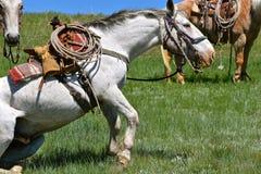 一匹被跛行的马在召集和烙记站起来 免版税库存图片