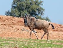 一匹角马,也称牛羚角马属步行一个晴天和神色的地球  免版税库存图片