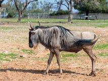 一匹角马,也称牛羚角马属步行一个晴天和神色的地球  图库摄影