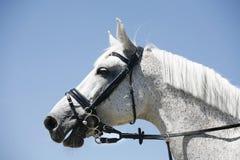 一匹跳跃的赛马的头 免版税库存图片