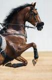一匹跳跃的马的画象在hackamore的 库存图片
