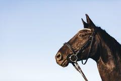 一匹野生黑貂马的画象 免版税图库摄影