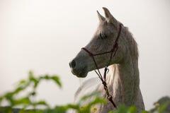 一匹阿拉伯马的纵向 库存图片