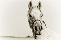 一匹阿拉伯马的纵向 图库摄影