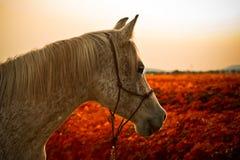 一匹阿拉伯马的纵向 库存照片