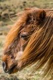 一匹非常老冰岛马的画象在栗子颜色的 免版税图库摄影