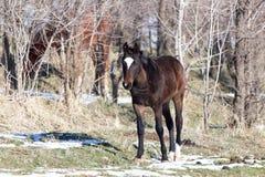 一匹马在一个牧场地在冬天 图库摄影