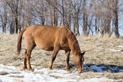 一匹马在一个牧场地在冬天 免版税图库摄影