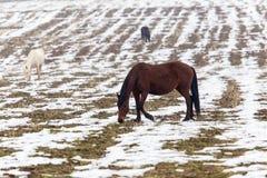 一匹马在一个牧场地在冬天 库存图片