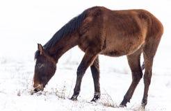 一匹马在一个牧场地在冬天 库存照片