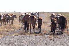 一匹马在一个牧场地在沙漠 免版税库存图片