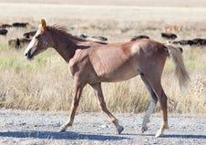 一匹马在一个牧场地在沙漠 库存图片
