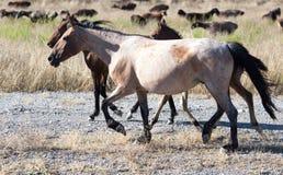 一匹马在一个牧场地在沙漠 免版税库存照片