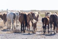 一匹马在一个牧场地在沙漠 库存照片