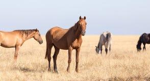 一匹马在一个牧场地在沙漠 免版税图库摄影