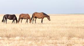 一匹马在一个牧场地在沙漠 图库摄影