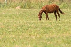 一匹马在一个牧场地本质上 免版税库存照片