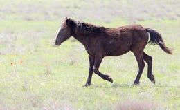 一匹马在一个牧场地本质上 免版税图库摄影
