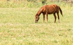 一匹马在一个牧场地本质上 库存图片