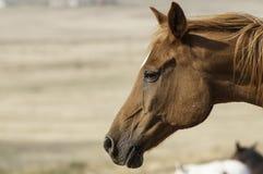 一匹马在牧场地(特写) 免版税图库摄影