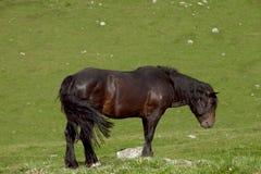 一匹马在草甸 库存图片