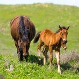 一匹马在绿色草坪的牧场地 库存照片