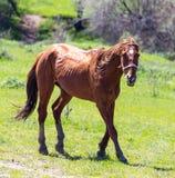 一匹马在绿色草坪的牧场地 库存图片