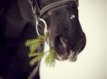一匹马的枪口与冷杉木分支的 库存照片