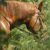 一匹马的枪口反对绿色叶子背景的  图库摄影
