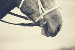 一匹马的枪口在辔的 库存图片