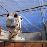一匹马的枪口的抽象射击与迷离backgruound的 免版税库存图片
