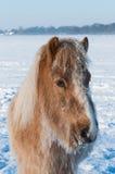 一匹马的纵向在冬天 免版税库存图片