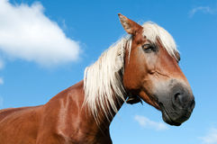 一匹马的画象与一根白色鬃毛的 免版税库存照片
