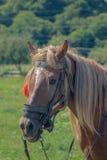 一匹马的画象与栗子头发的 免版税库存照片