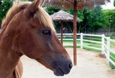 一匹马的画象在农场 库存图片