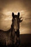 一匹马的画象从萨罗普郡,英国的 免版税图库摄影