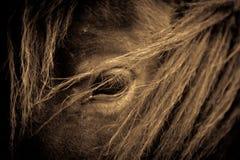 一匹马的画象从萨罗普郡,英国的 免版税库存照片