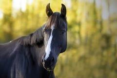 一匹黑跳跃的马的画象与白色条纹的在他的前额 库存图片