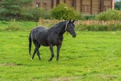 一匹黑马在秋天的绿色草坪走 免版税库存图片