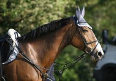 一匹更加跳动的马的侧视图射击在马鞍下的 库存照片